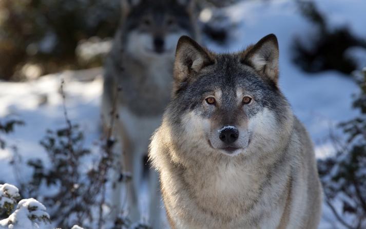 7035990-grey-wolf